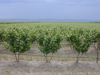 Grape field in Yakima Valley, WA