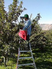 Worker picking apples (Keifer)