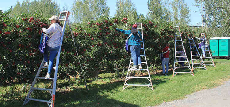 Picking apples on ladders