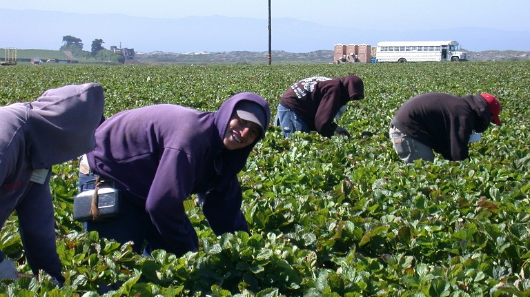 Agricultural workers in a strawberry field