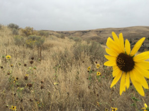 Yakima sunflower.  Photo by PNASH.