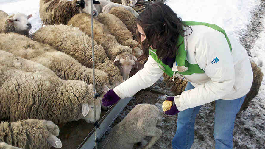 Woman feeds a group of sheep in a snow-covered outdoor space.