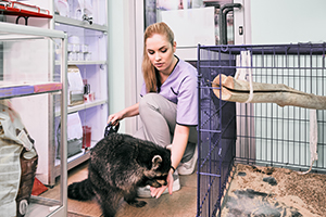 Veterinary worker feeds a raccoon in a veterinary clinic.
