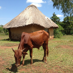 Peter Rabinowitz - Emerging Disciplines - Cow grazing outside a thatched roof hut in Africa