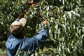 An apple picker reaches into an apple tree to harvest fruit.