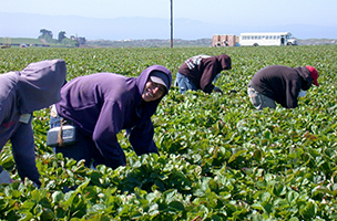 Strawberry pickers in a field, wearing purple hoodies, green leafy strawberries around them and a white bus in the background.