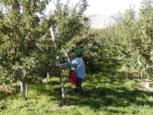 photo of an apple harvester
