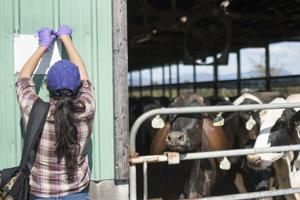 Sara Mar puts up a flytrap next to cattle