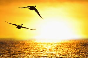 Geese flying into a sunset over the ocean