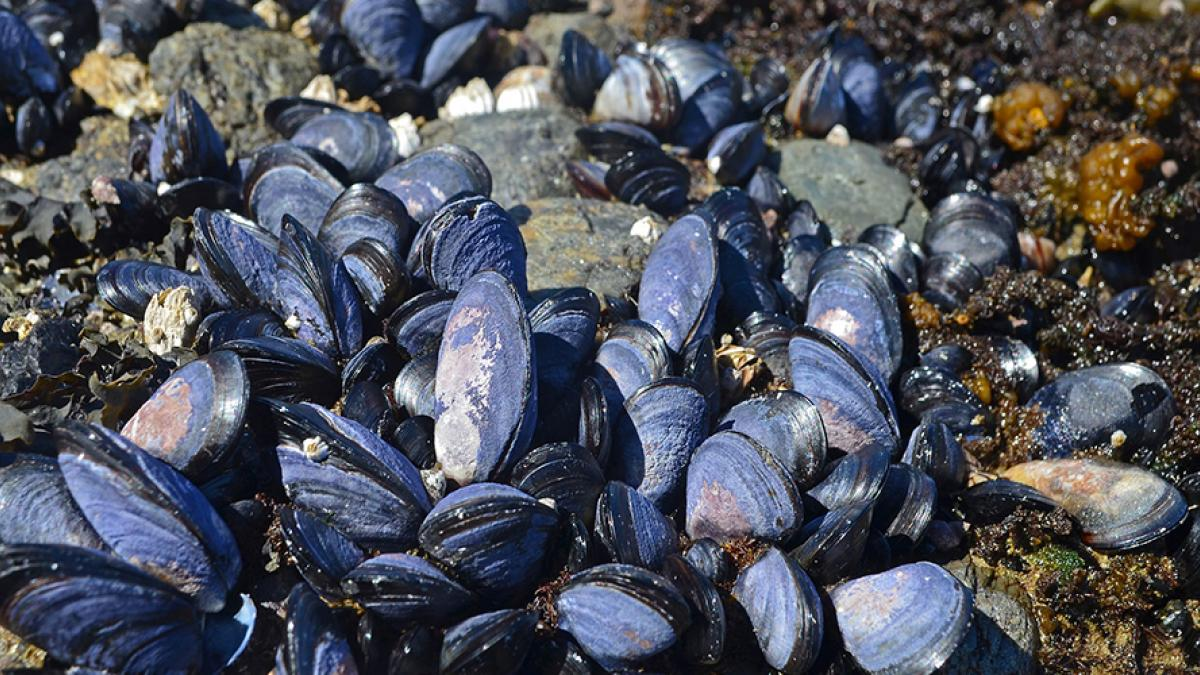 Mussels on a Washington state beach.