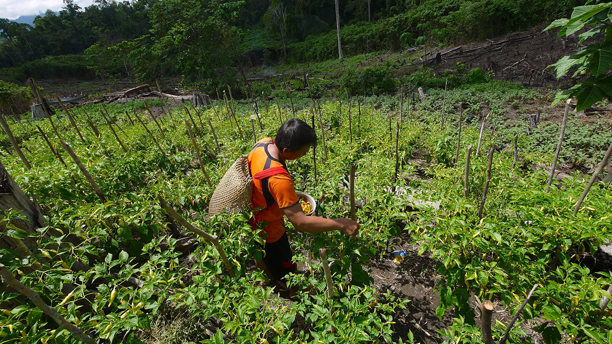 A man stands on a rural hillside picking peppers from plants.