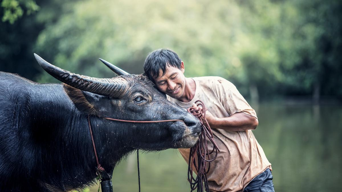 A man lays his cheek against a water buffalo while holding a harness.