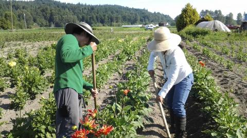 Farmworkers in the field with large hats on for sun protection.