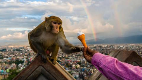 A person hands an ice cream cone to a monkey perched on a temple wall in Nepal.