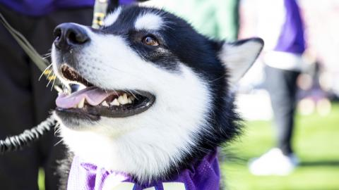 Dubs, the Husky mascot, on a football field wearing a purple W scarf.