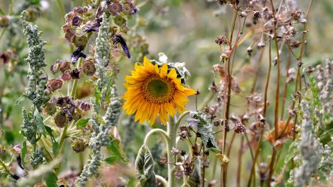 A wilting sunflower surrounded by dried out plants.